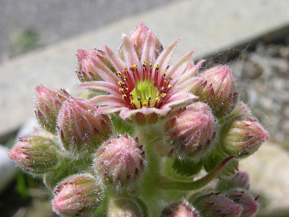 La pianta grassa ha fatto il fiore.