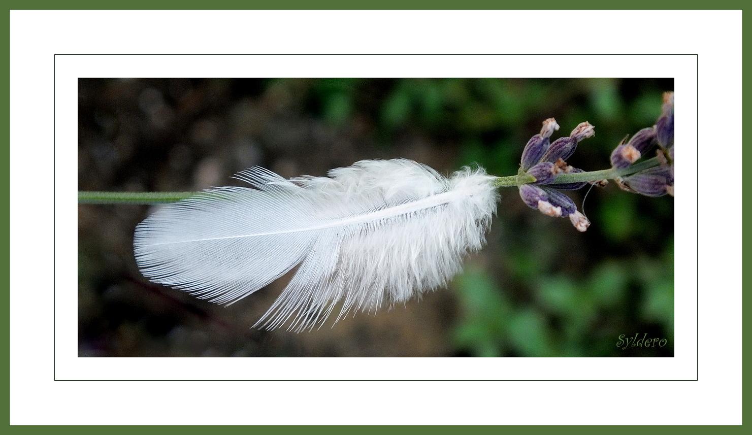 La plume blanche