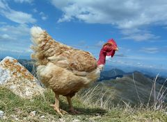 * la poule du Mont - Chiran * dans le 04