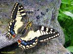 La prima Farfalla