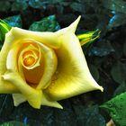 La prima rosa