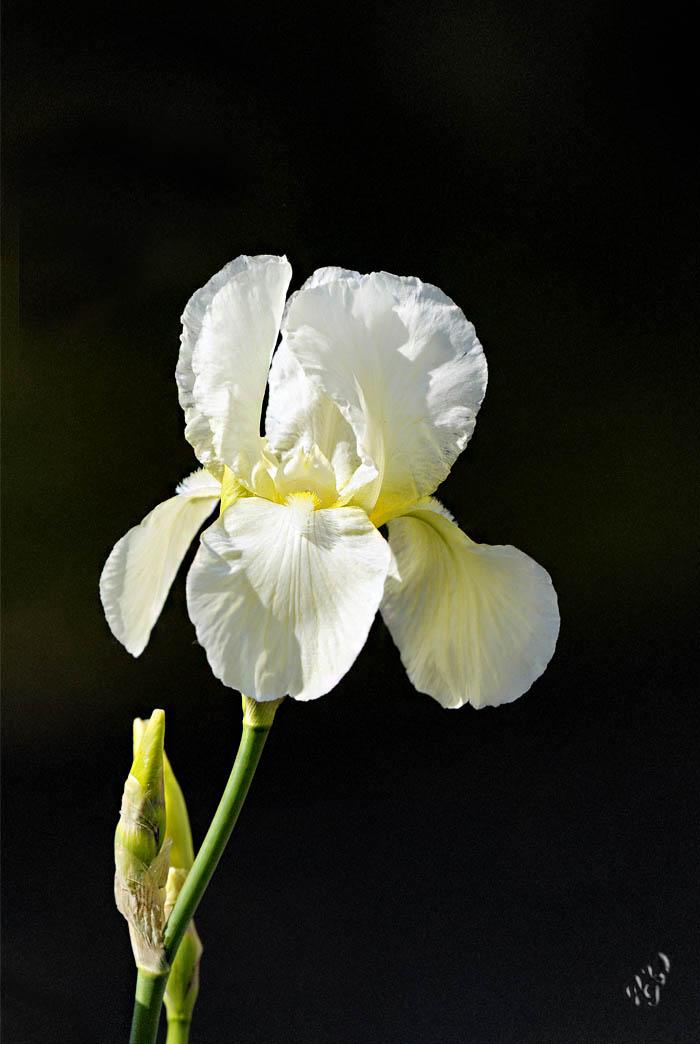 La pureté de l'Iris blanc