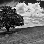 la quercia solitaria