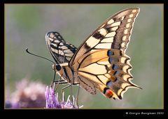 La regina delle farfalle