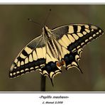 La reina de las princesas(Papilio machaon)
