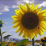 la reine  des fleurs  de l été...