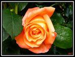 """"""" La Rosa """""""