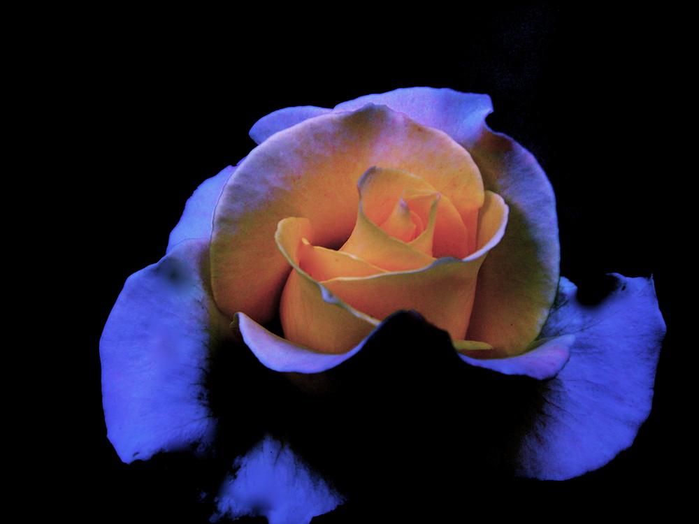 la rosa de hielo