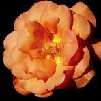 La rosa de la fábula.