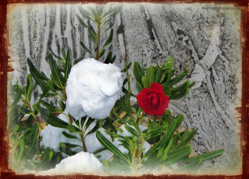 La rosa d'inverno