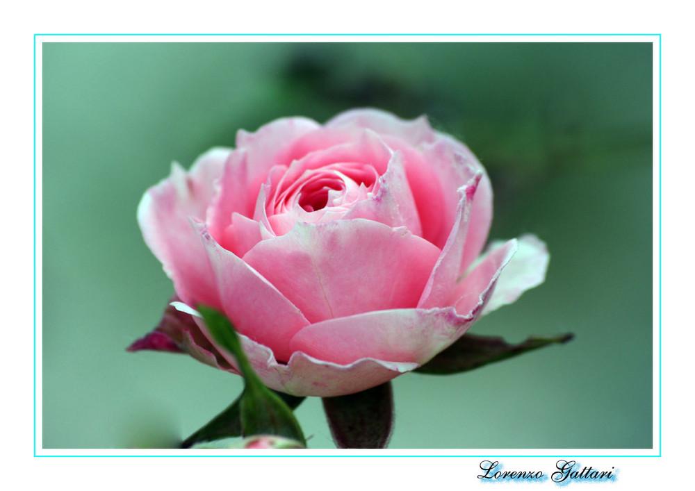 LA ROSA DOLCE CANDY