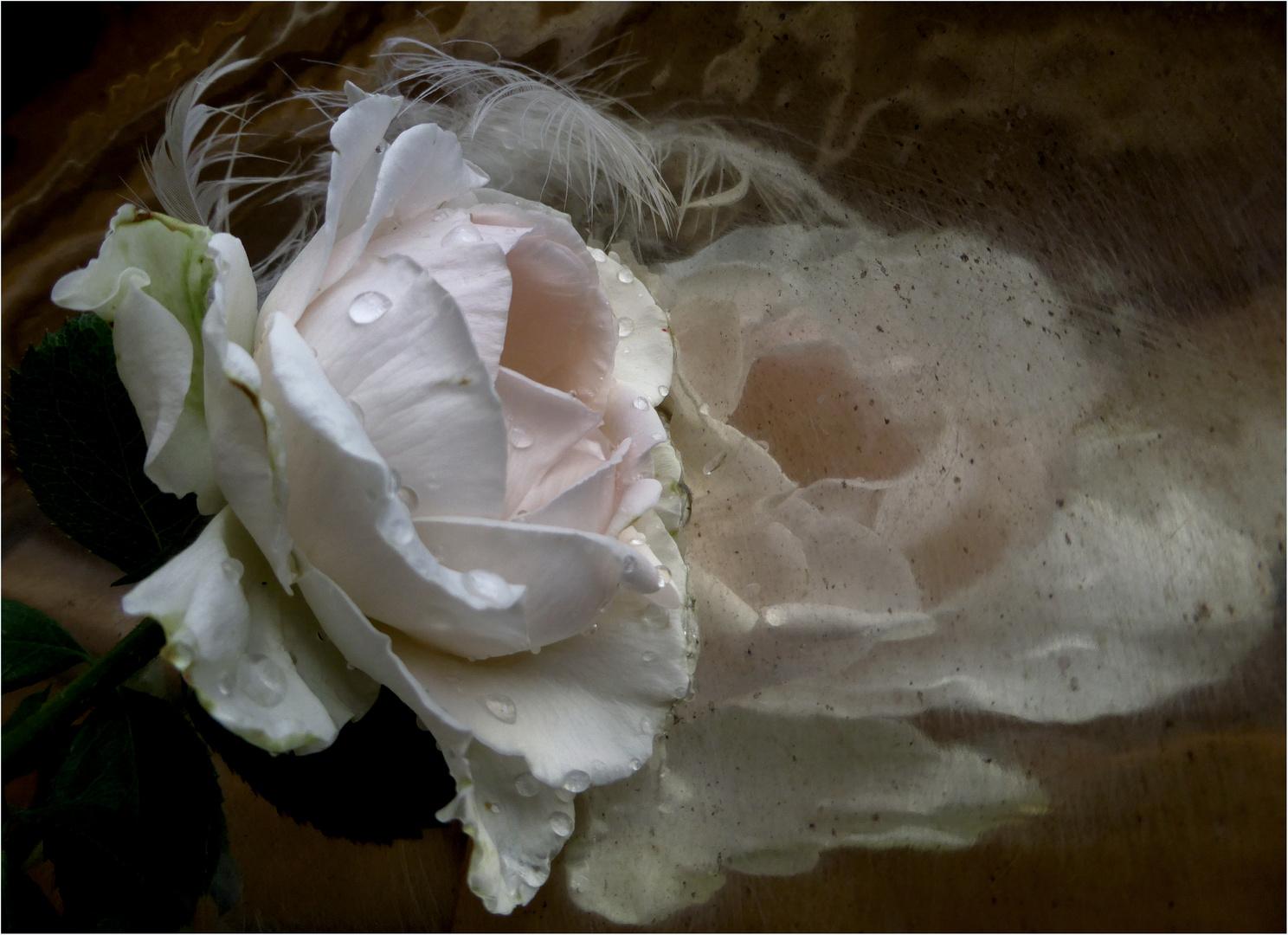 la rosa e il  riflesso..