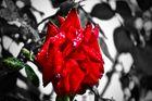 La Rosa mas bonita del Jardin no es roja...