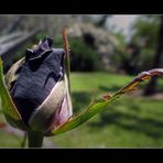 La rosa Nera