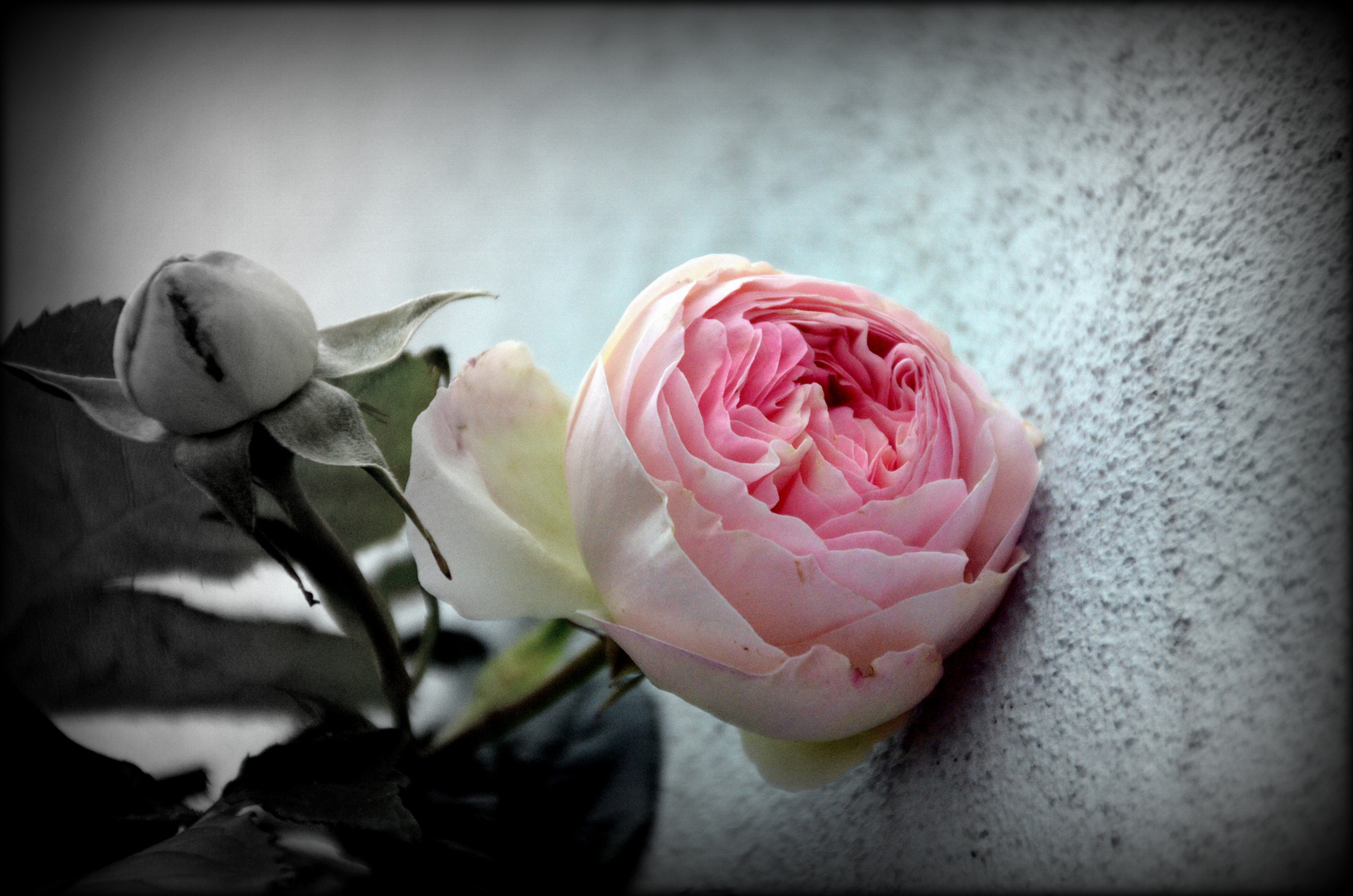 La rosa rosa