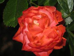 La Rosa Superba