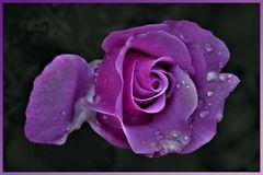 la rose couleur violette....