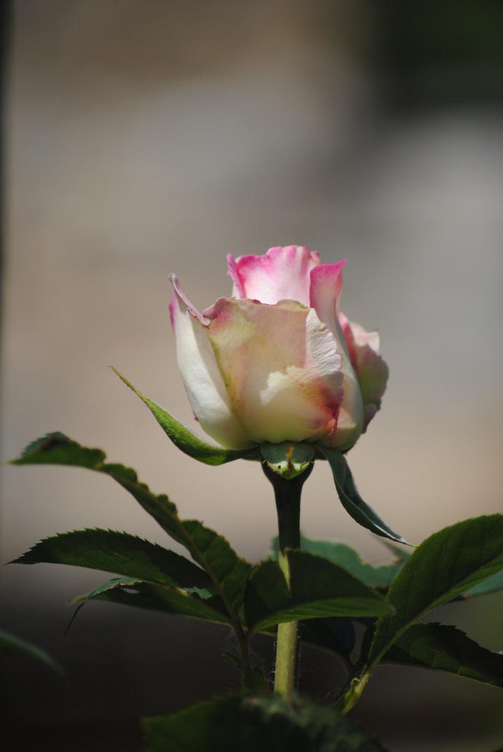 La rose du périgord