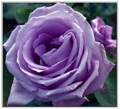 la rose mauve.