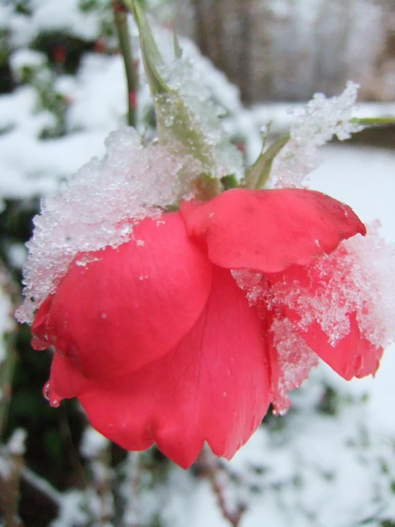 la rose plie....