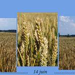 La Saga des blés…. - Die Geschichte vom Weizen…