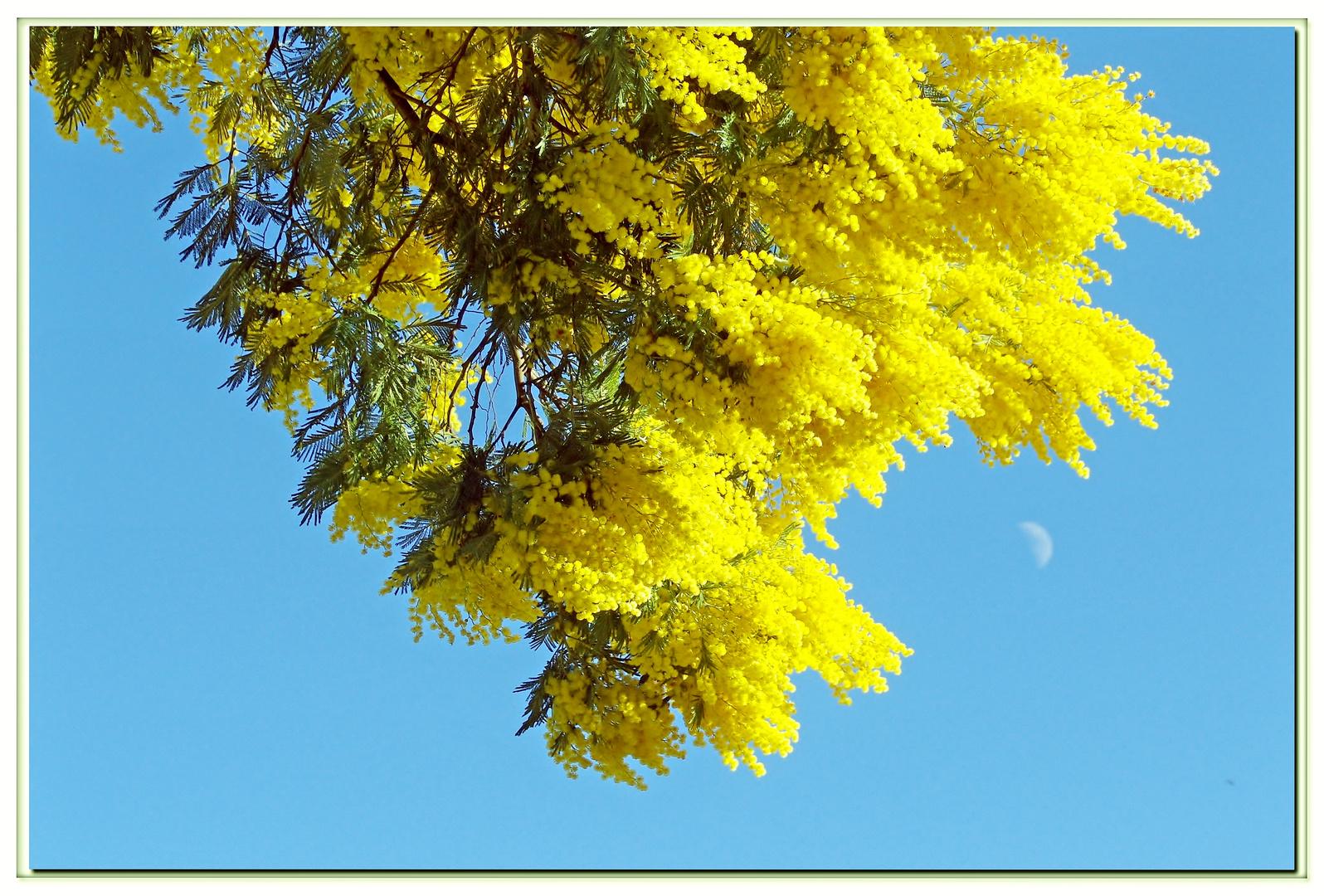 la saison des mimosas est arrivée .....