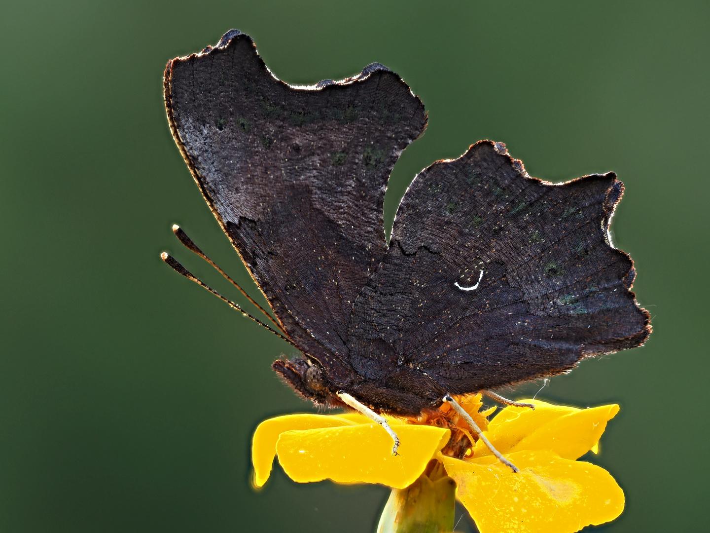 La saison des papillons se termine