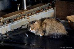 La sardina y el gato