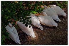 la sieste de SIX pelicans blancs...