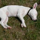 La sieste du cochon-chien !!