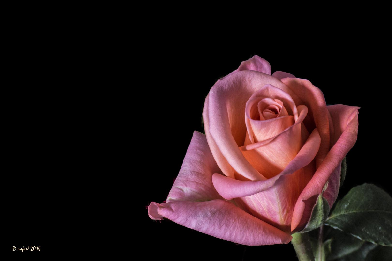 La soledad de la rosa