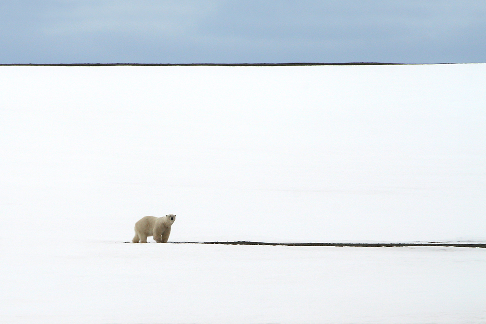 La solitude de l'ours polaire