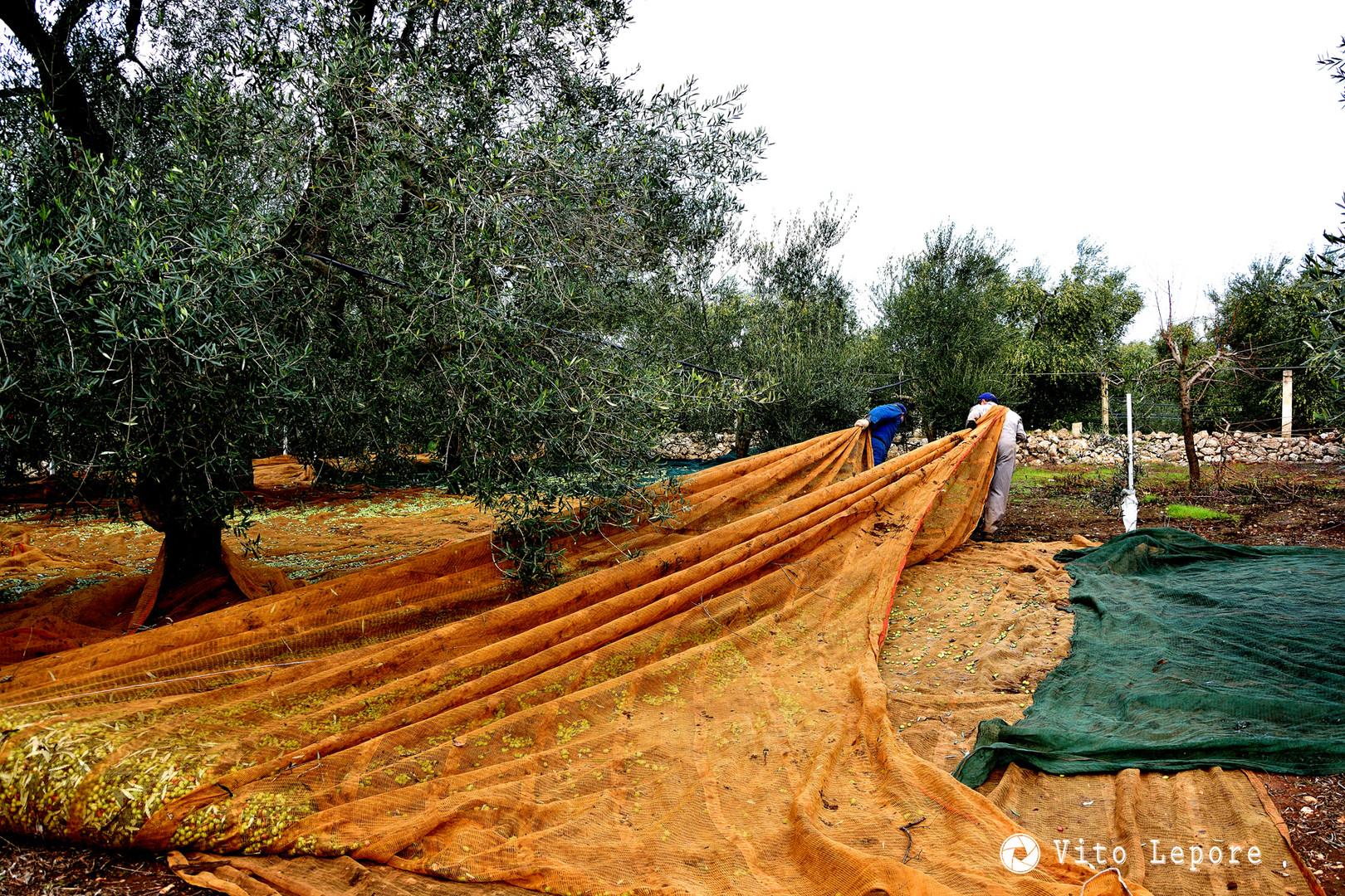 la stagione delle olive, la raccolta