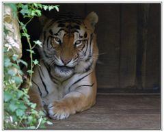 la tigre che mi sorride.....