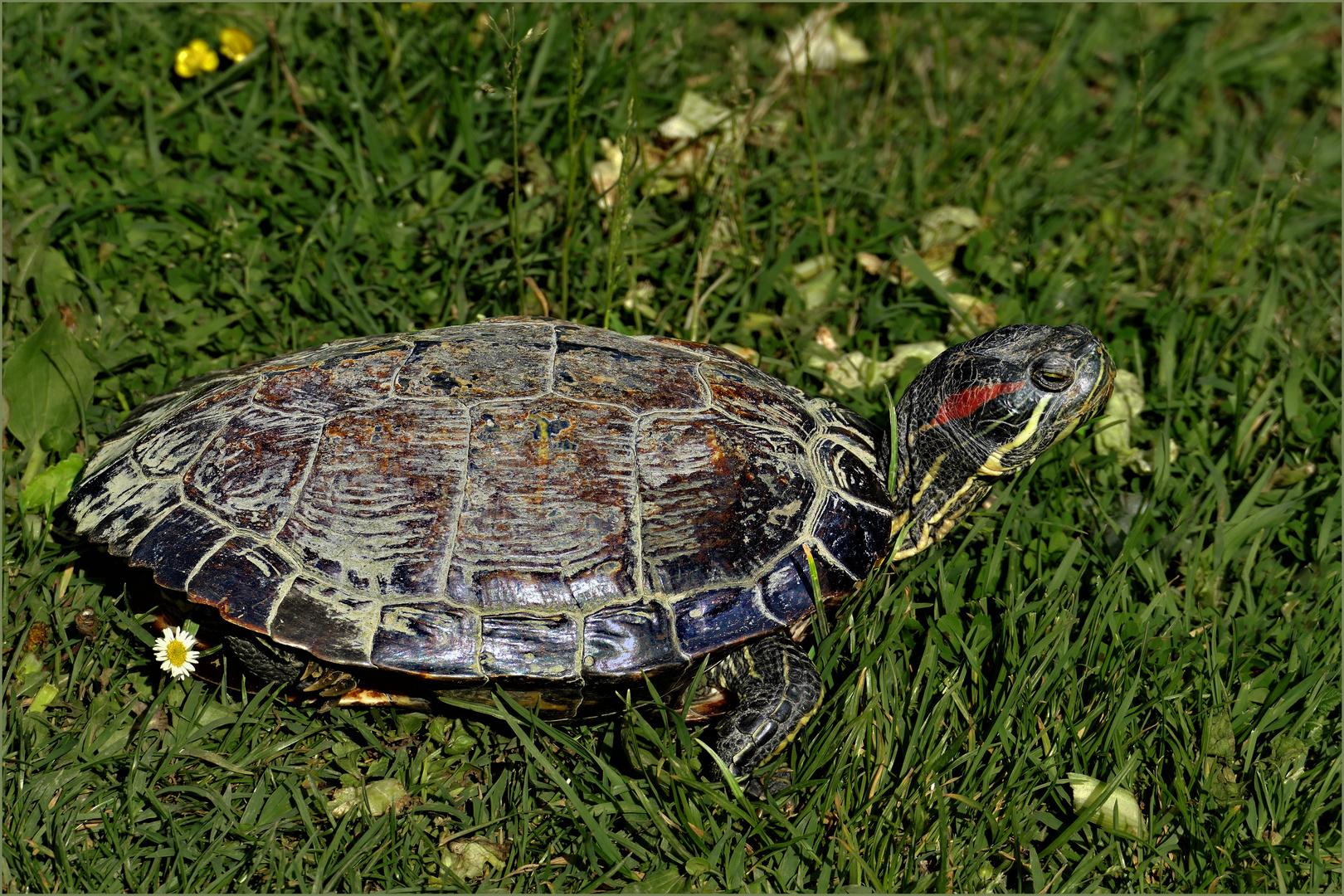 la tortue d eau qui préférait la campagne .....