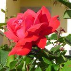 la tua rosa preferita