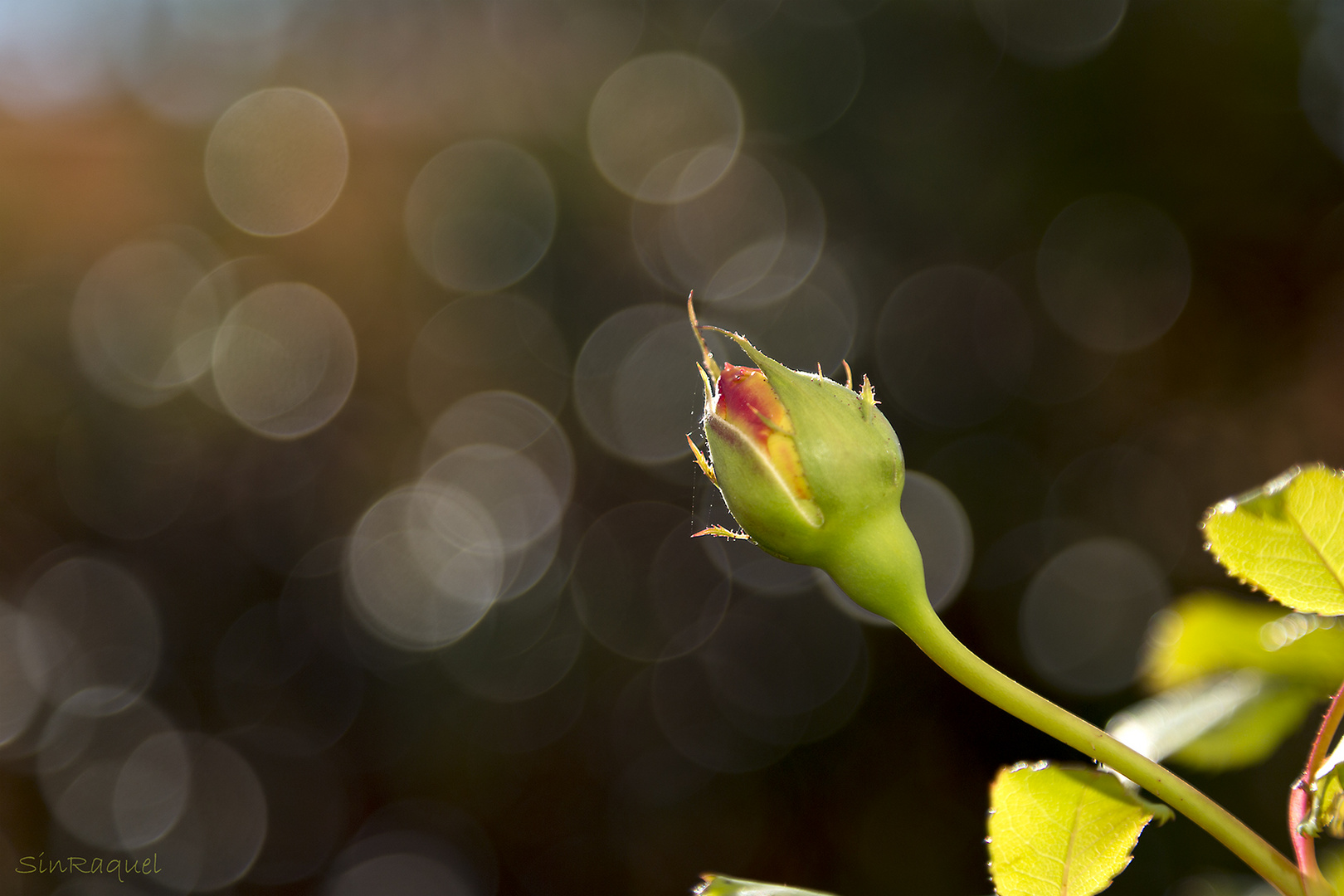 La última rosa