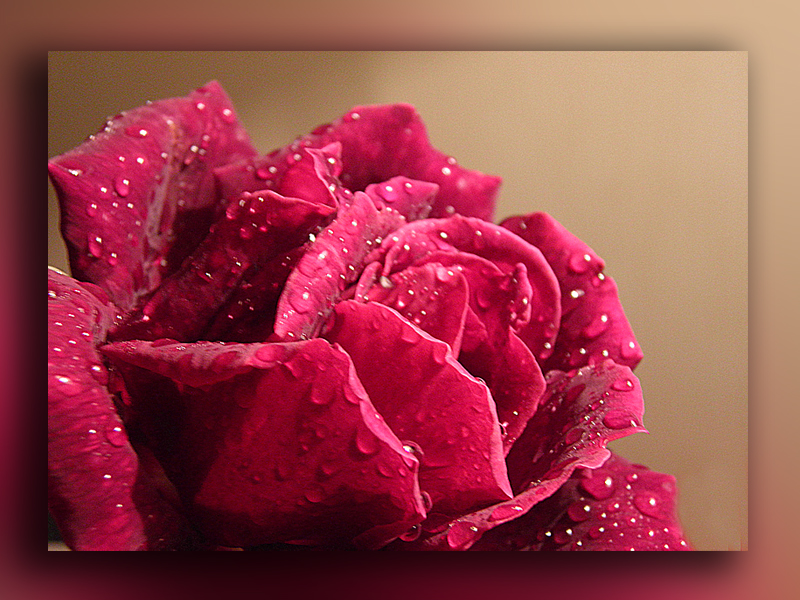 la ultima rosa de mi jardin