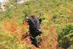 La vache dans le maquis Corse