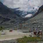 La vache et le glacier
