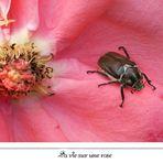 la vie sur une rose...
