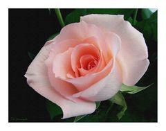 La vie un Rose