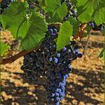 La vigne au soleil
