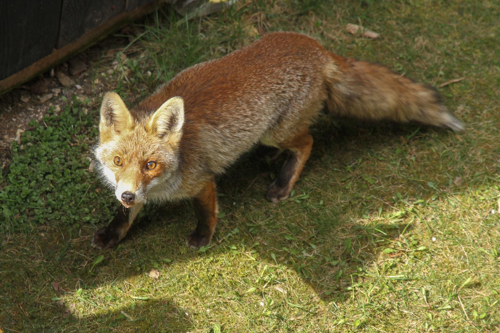 la volpe in giardino