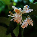 La zagara - fleur de citron