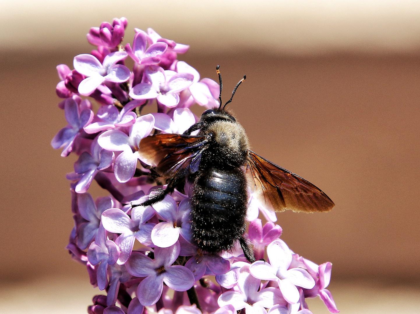 l'abeille charpentière !!!