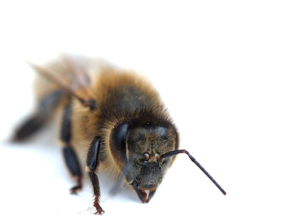 L'abeille en son écrin blanc