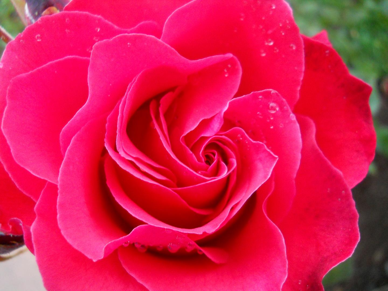 Laberinto de una rosa