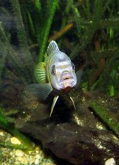Labidochromis sp. Mbamba II