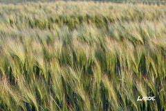 Laboe - Getreide - irgendwo unterwegs